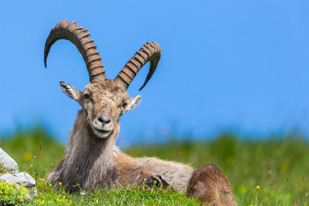 natural male alpine capra ibex capricorn blue sky sitting green meadow Фото со стока