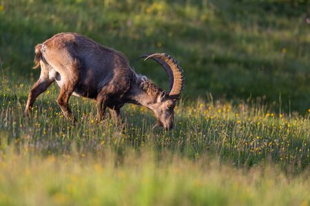 capricornio: portrait grazing natural adult male alpine capra ibex capricorn meadow