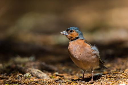 natural male common chaffinch (fringilla coelebs) standing on forest ground