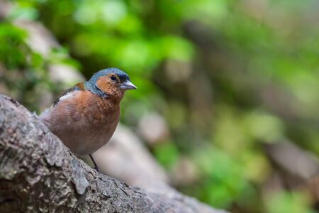 natural male common chaffinch (fringilla coelebs) standing on tree branch in forest Stock Photo