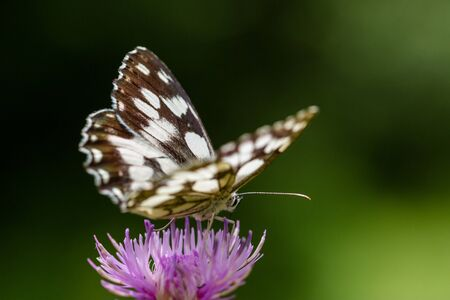 background pattern: portrait natural marbled white (melanargia galathea) butterfly violet thistle flower Stock Photo