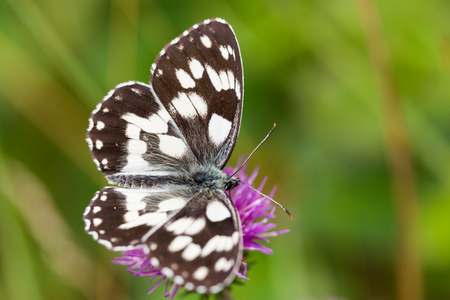 background pattern: top view marbled white (melanargia galathea) butterfly violet thistle flower green meadow