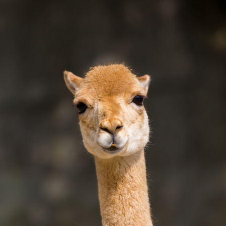 detailed natural front view guanaco (Lama guanicoe) portrait in sunlight