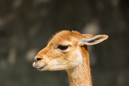 detailed side view natural guanaco (Lama guanicoe) portrait in sunlight