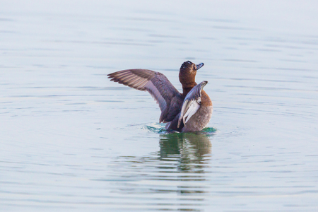 natural eurasian female pochard duck (aythya ferina) with spread wings in water