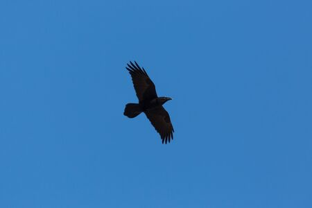 silhouette natural black northern raven (corvus corax) flying in blue sky Фото со стока - 91284228