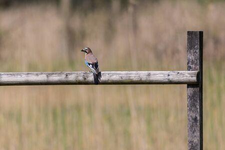 one natural eurasian jay bird (garrulus glandarius) standing on branch in reed