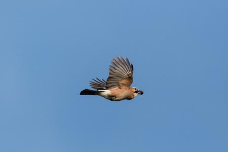 flying natural eurasian jay (garrulus glandarius) with acorn, blue sky, spread wings