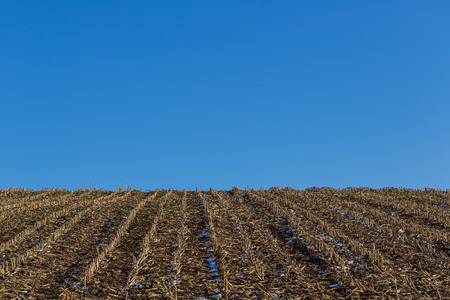 natural corn field in winter, stubbles in row, blue sky, snow Stock Photo