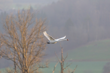 natural flying mute swan (cygnus olor) leafless tree