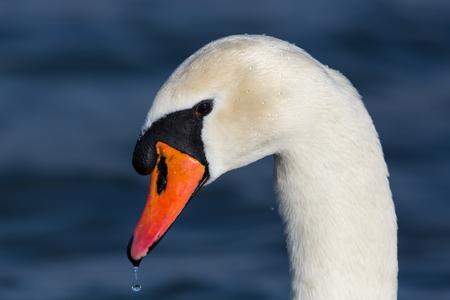 natural portrait of natural mute swan (cygnus olor) water drop, sunshine
