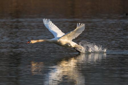 natural mute swan bird (cygnus olor) running, water surface, take off, sunlight