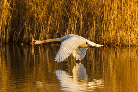 飛行自然ミュート白鳥(シグナスオロール)、水、リード、朝日に反映