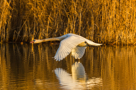 flying natural mute swan (cygnus olor), reflected on water, reed, morning sun 스톡 콘텐츠