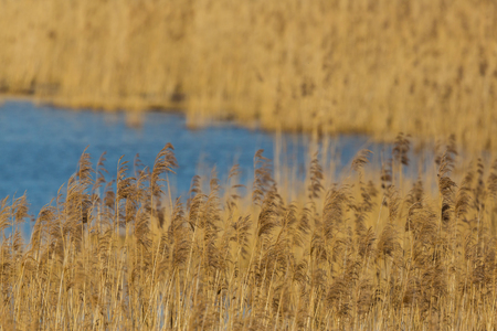 natural panicles and ears in reed belt with blue water Stock Photo