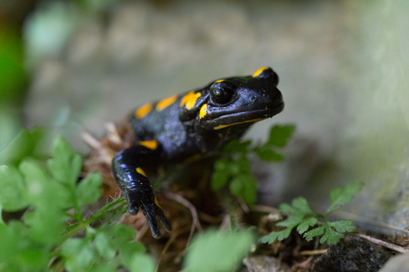 front view portrait natural spotted fire salamander (salamandra salamandra)