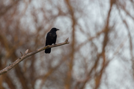 natural carrion crow raven (corvus corone) sitting on branch in forest Stock Photo