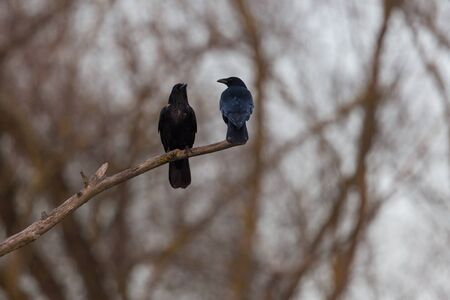 two black carrion crow raven birds (corvus corone) sitting on branch Stock Photo