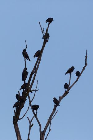 many natural starlings (sturnus vulgaris) on  tree branch