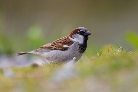 detailed portrait natural male house sparrow (passer domesticus) in meadow