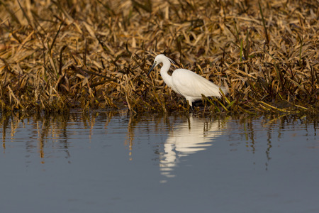natural little egret (egretta garzetta) standing at reed belt, reflected on water surface Stock Photo
