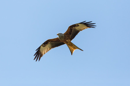 bottom view natural red kite bird (milvus milvus) flying, blue sky, spread wings