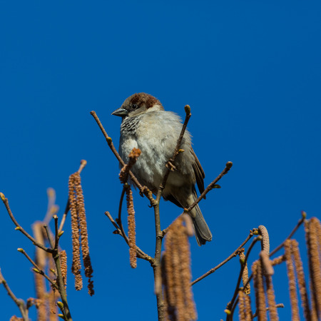 natural house sparrow (passer domesticus) sitting on top of dale tree, blue sky Stock Photo