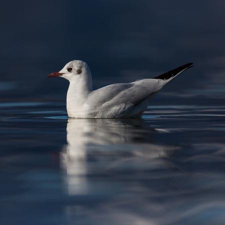 natural swimming black-headed gull (larus ridibundus), deep blue water, sunshine
