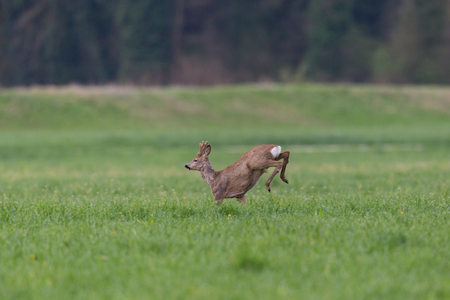 young natural roebuck (capreolus) jumping in green meadow, hind legs in air Stock Photo
