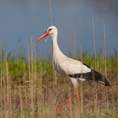 close view one natural white storks (ciconia ciconia) standing in reed, sunshine