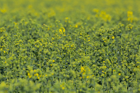 close view cultivated oilseed rape field (brassica napus) in spring, partial bloom