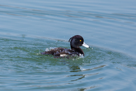 natural tufted duck (aythya fuligula) grooming in blue water Stock Photo
