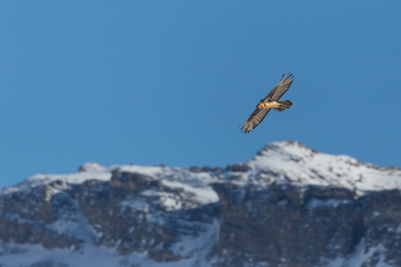 flying natural adult bearded vulture (gypaetus barbatus) snowy mountains, blue sky