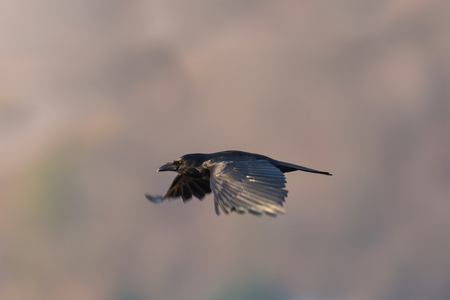 flying natural carrion crow (corvus corone)  spread wings