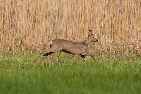 young natural roebuck (capreolus) running in front of reed belt