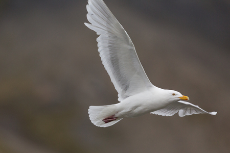 detailed portrait natural glaucous burgomeister gull (Larus hyperboreus) in flight 版權商用圖片