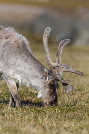 natural side view portrait Svalbard reindeer (rangifer tarandus platyrhynchus) grazing, antlers