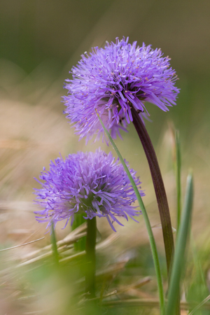 natural purple blossom leafless-stemmed globularia (globularia nudicaulis) flower