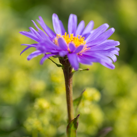 macro natural blooming boreal aster flower (aster alpinus) in green meadow Stock Photo