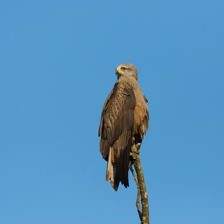 natural black kite (milvus migrans) sitting on isolated branch, blue sky
