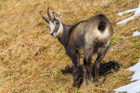 natural chamois (rupicapra rupicapra) looking back in dry grassland in autumn, snow