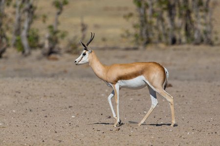 side view natural springbok antelope (antidorcas marsupialis) walking on sand in sunlight Standard-Bild - 114838524