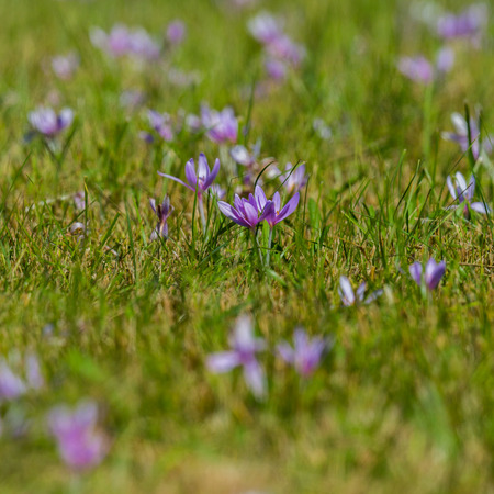 many blooming violet autumn crocus flowers (colchicum autumnale), green meadow, sunshine