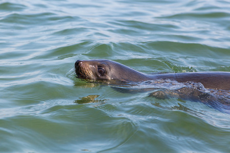 close view natural swimming eared seal (otariidae), water, sunshine