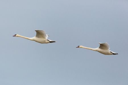 side view portrait two natural mute swans (cygnus olor) in consecutive flight