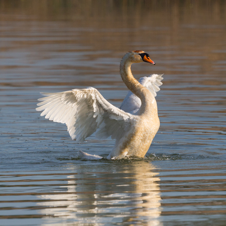 mute natural swan (cygnus olor) shaking wings on water surface