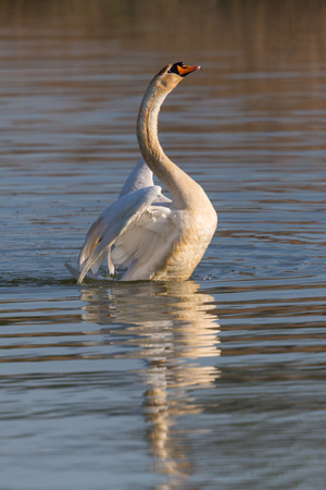 one natural mute swan (cygnus olor) shaking wings on water surface