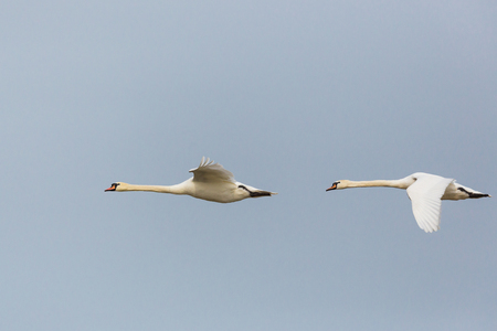 side view portrait two flying natural mute swans (cygnus olor)