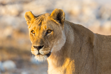 close natural wildlife lioness portrait in sunshine Stock Photo