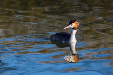 natural great crested grebe (podiceps cristatus) on mirrored water surface